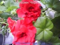Пеларгония №18