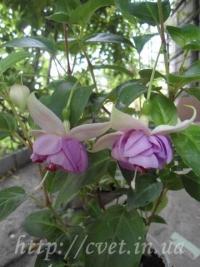 Фуксия №10 English Rose