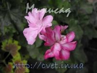 lilas mist №50
