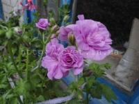 PAC Lilak Rose 2