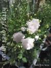 Компанула Wonder White №11